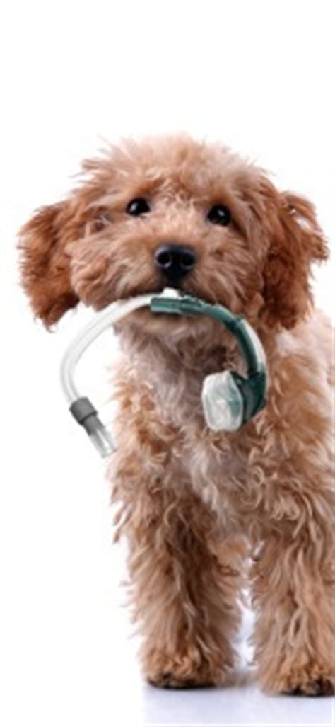 cpap for dogs cpap dealing with pets and cpap therapy