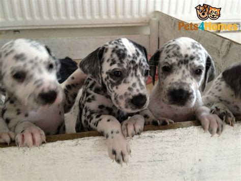 dalmatian puppies for sale in ga dalmatians for sale breeds picture