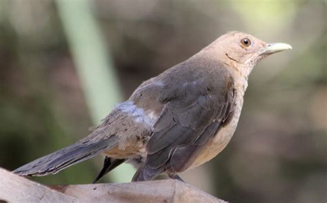 clay colored thrush s barkers birds more