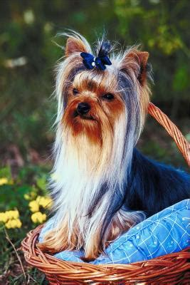my yorkie smells how to prevent an coat naturally ehow