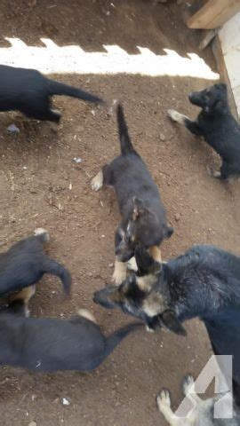 german shepherd puppies for sale in nm german shepherd puppies for sale in albuquerque new mexico classified