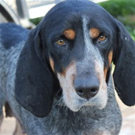 blue tick hound puppies for sale blue tick coonhound puppies for sale