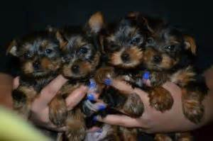 teacup yorkies knoxville tn dogs knoxville tn free classified ads
