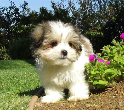 shih tzu maltese for sale bichon x chihuahua puppies gravesend kent pets4homes