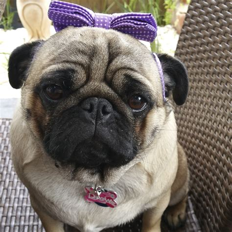 what age do pugs live to social pug profile miss drew the pug diary