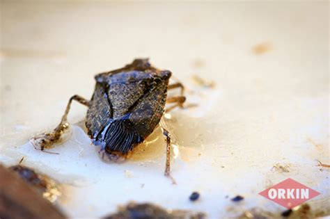 bed bug odor how bad do stink bugs smell