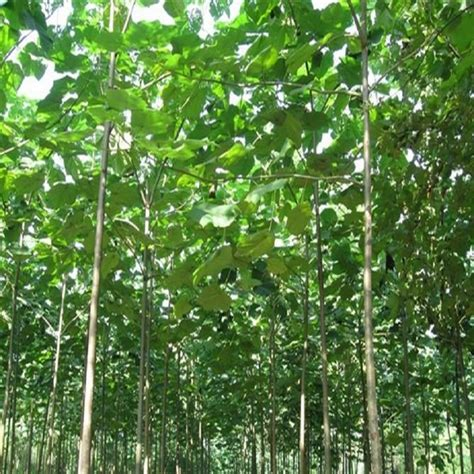 online get cheap fast growing trees aliexpress com alibaba group