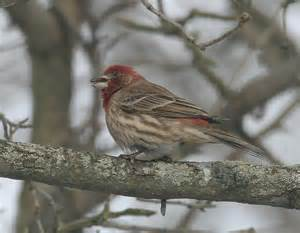 ohio bird photo collection house finch