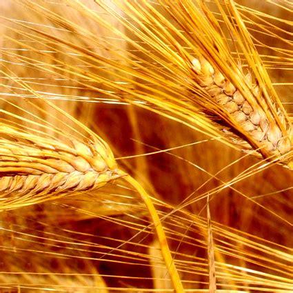 alimentazione biodinamica la cucina a base di cereali genitronsviluppo