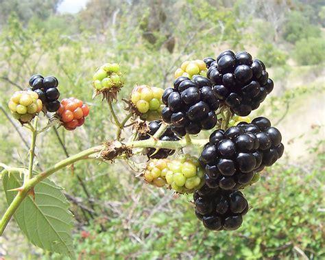 Blackbarry Jump Fruit file blackberry fruits jpg wikimedia commons