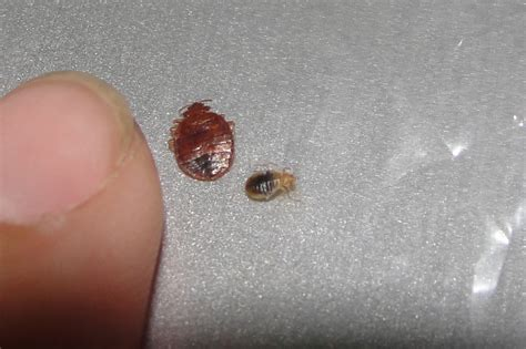 bed bug bites on fingers bed bug prevention pest control blog orange county