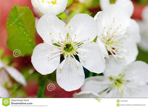 cherry tree with white flowers royalty free stock photo image 10412055