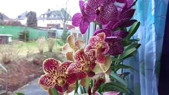 my vanda orchids in glass vases mah02545