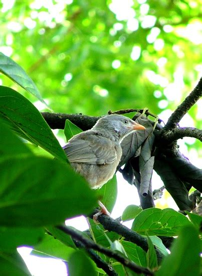 roshographs  birds  sri lanka