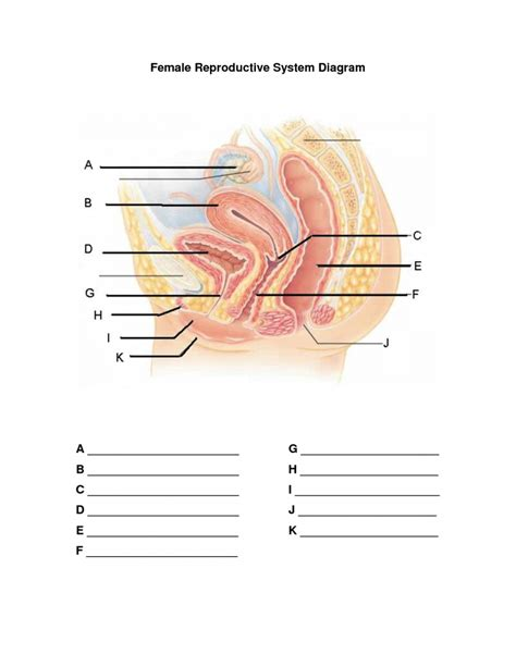 diagram of reproductive organs unlabeled reproductive system diagram