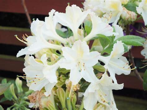 Azalea Shoo rhododendron daviesii deciduous hybrid azaleas