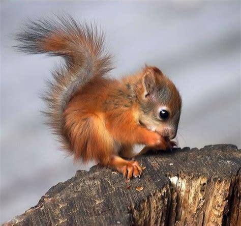 Baby Red Squirrel   Wild About Britain