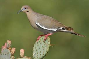 white winged dove audubon field guide