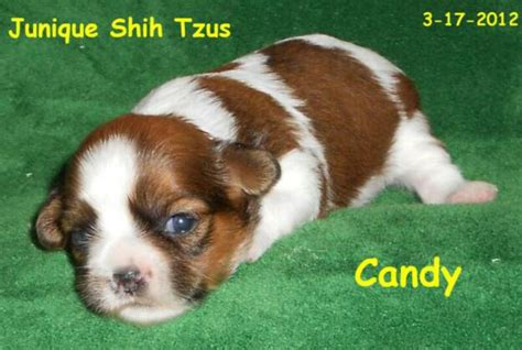 junique shih tzu shih tzu puppies for sale shih tzu breeders