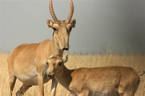 saiga saiga tatarica antilope de asia central nariz  forma de pequena trompa adaptada al