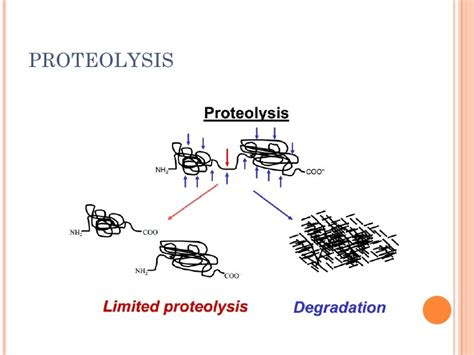 protein degradation proteolysis protein degradation and turnover
