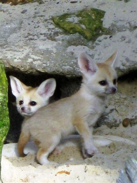 how cute pet foxes steal your heart baby fennec foxes the adorable foxes the cutes ears pets look at