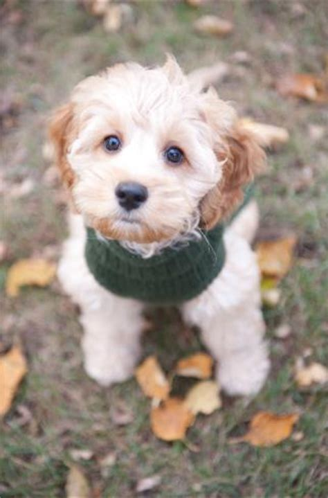 cockapoo puppies for sale in mn satisfied customers