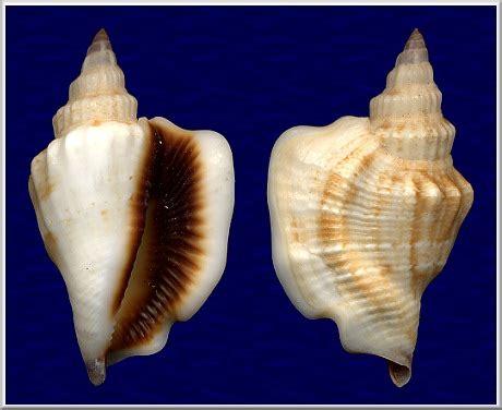 40 Meters To Feet strombus plicatus pulchellus reeve 1851