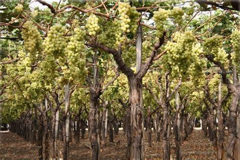 uva da tavola pugliese uva da tavola pugliese assegnato l igp