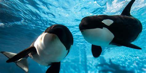 imagenes seaworld orlando last killer whale born in captivity expected to arrive