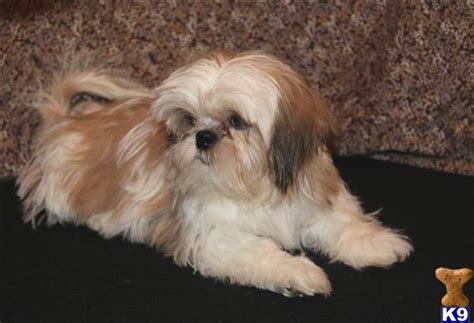 gold shih tzu puppies document moved