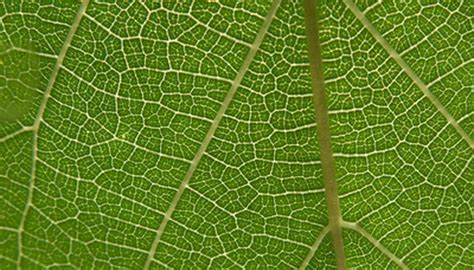 what gives plants their green color leaf cell structure sciencing