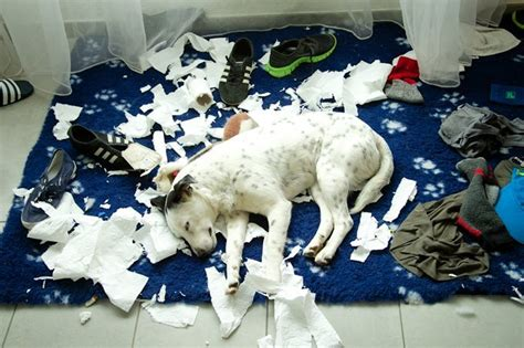 how to a destructive how to stop dogs from destructive chewing dogtime autos post