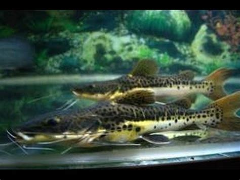 Lu Aquarium Ikan Hias ikan hias leopard catfish budidaya ikan hias aquarium