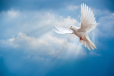 doves hd wallpaper 557370 jpg dove wallpapers collection of dove backgrounds dove hd