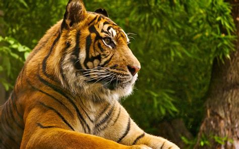 tiger themes for windows 7 free download tiger windows 10 theme themepack me