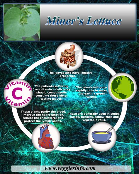 Miners Value Miner S Lettuce Health Benefits Veggies Info Veggies Info