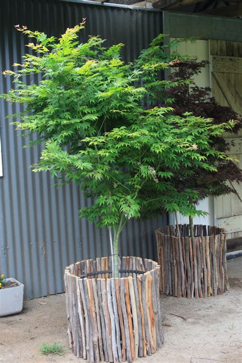 Small Trees For Planters by Winter Hill Tree Farm Courtyard Pots