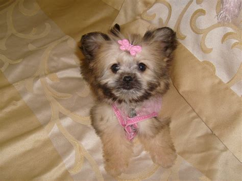 shih tzu mix chihuahua puppies chihuahua mix with shih tzu puppies images
