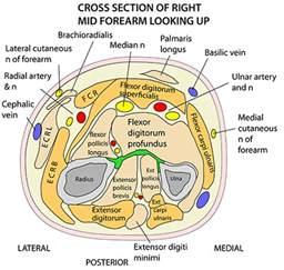 instant anatomy limb areas organs forearm