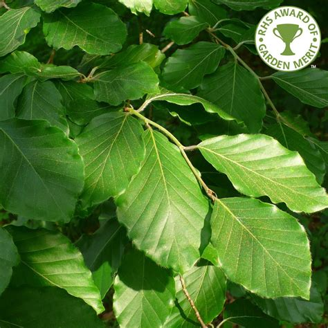 fagus sylvatica fagus sylvatica green beech tree buy common beech