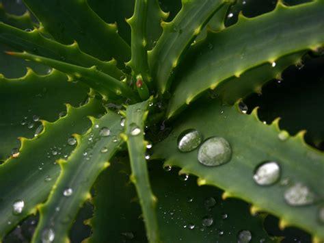 aloe verde aloe vera ingerul verde