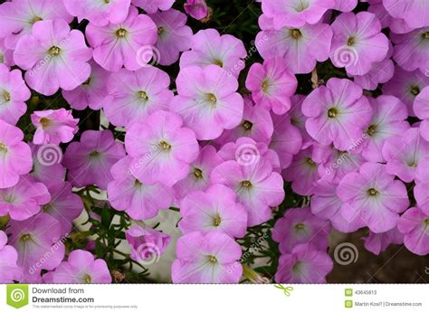 Pink Small Flowers background of pink flowers stock photo image 43645813