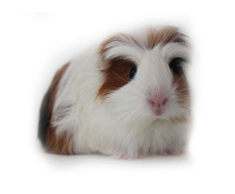 black white brown brown black and white guinea pigs