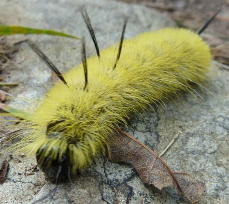 Caterpillar Yellow scotia butterfly moth and caterpillar