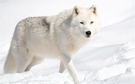 alaskan wolf beautiful arctic wolf in alaska wolf facts and information