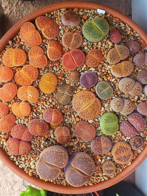 lithops aucampiae living stones planting succulents