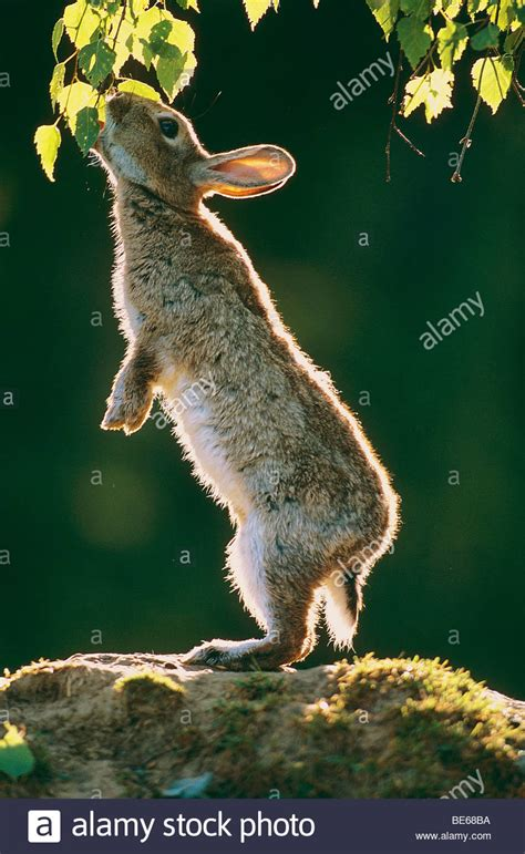 how to your to stand on hind legs european rabbit birch leaves while standing on its hind legs stock photo