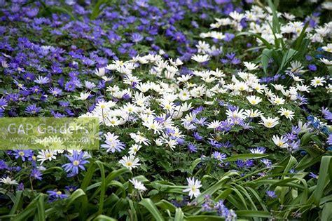 anemone blanda planting gap gardens anemone blanda blue and white splendour