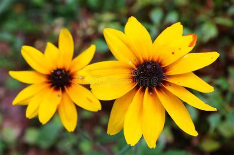 fiori simili alle margherite i fiori di giallo simili alle margherite si sviluppano